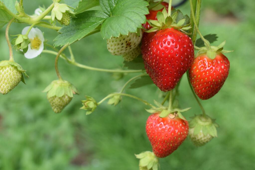 Erdbeeren reifen an der Pflanze in verschiedenen Stadien