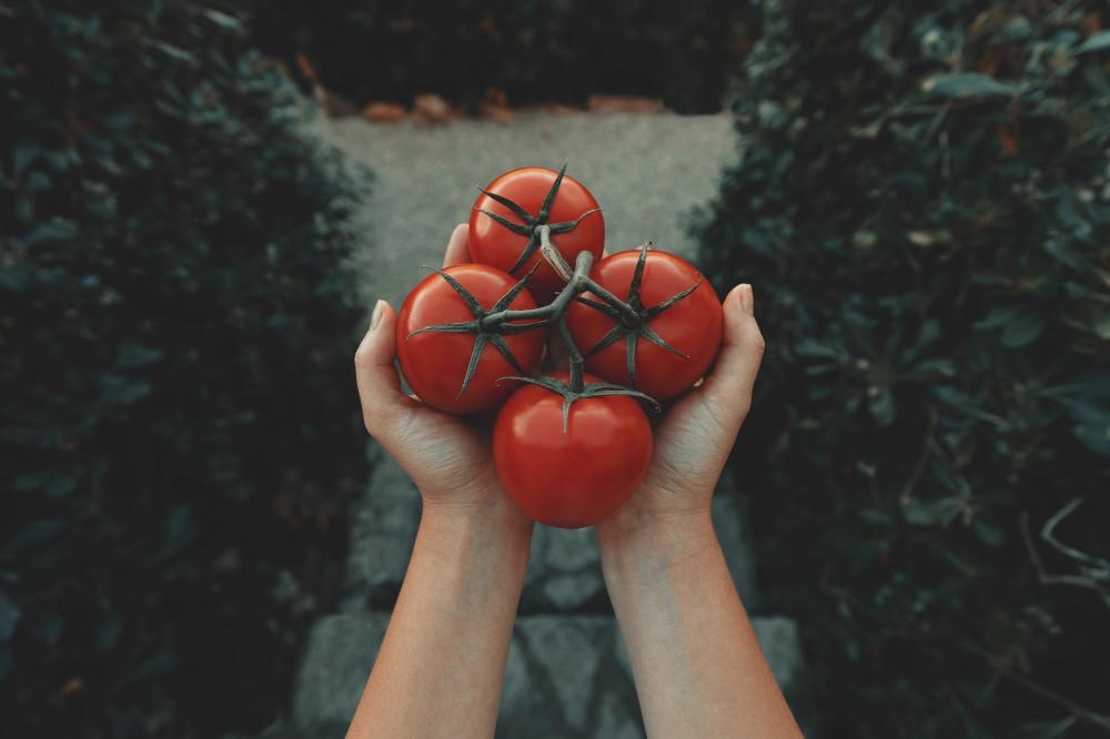 Jemand hält 4 Tomaten in der Hand