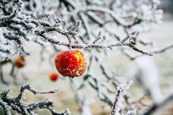 An einem eingeschneiten Baum hängt ein rot leuchtender, leicht beschneiter Apfel.