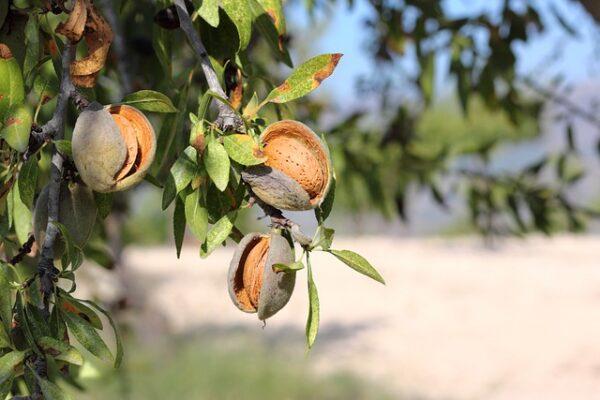 An einem Baum hängt eine Mandelfrucht