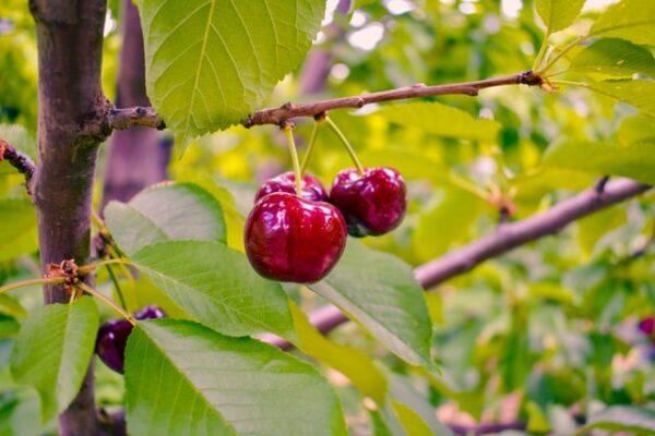 An einem Baum hängen drei Kirschen